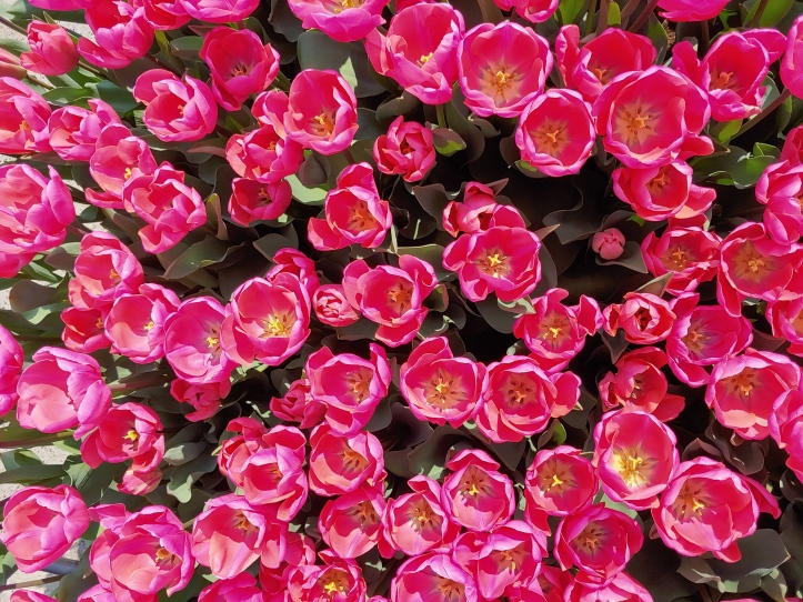 Top-down view of bright pink tulips.