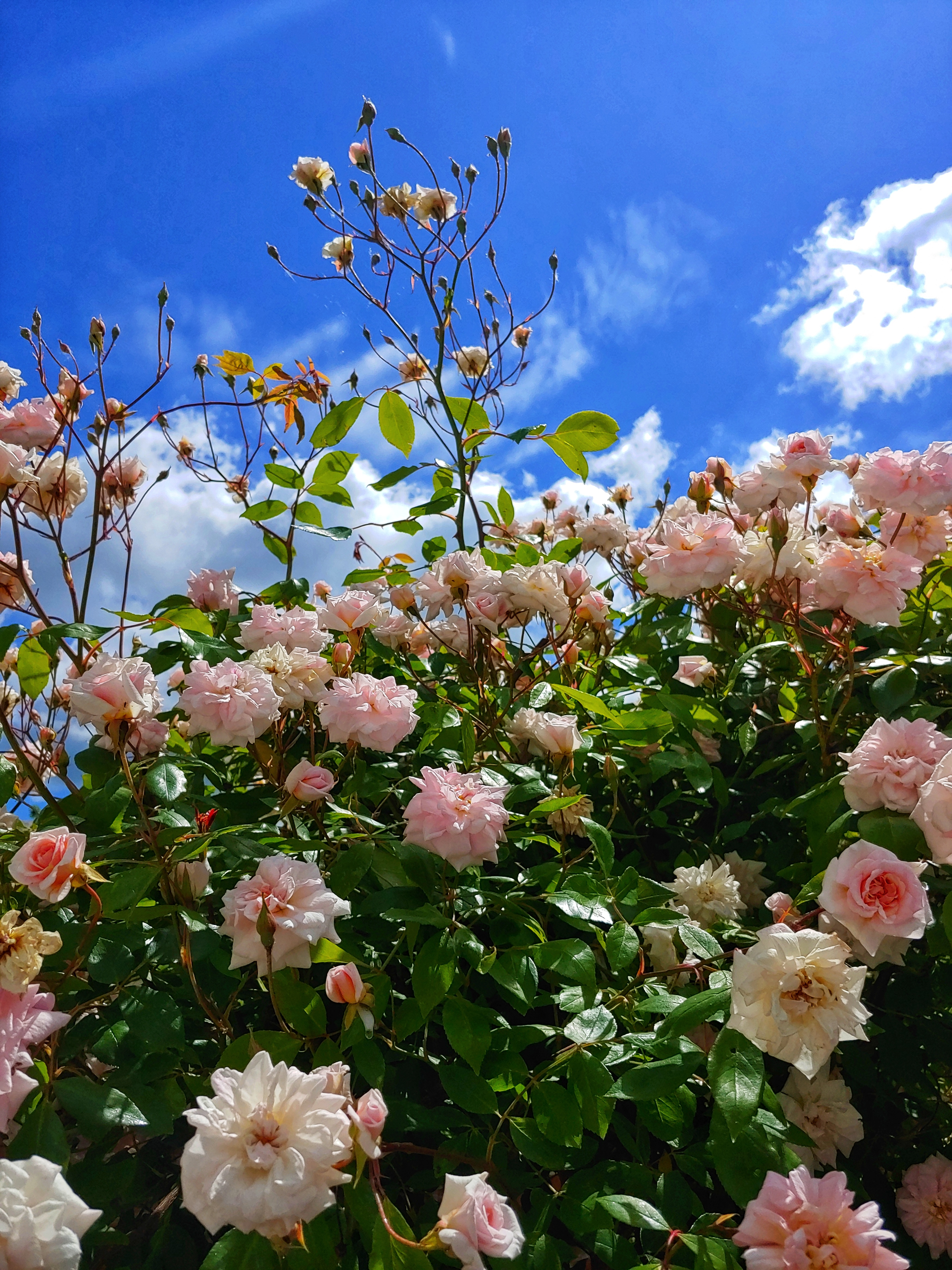 Small pink roses on a bush with a background of bright blue sky.