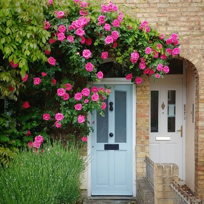 Terrace house with blue door, surrounded by large pink roses and lavender bushes which aren't yet flowering