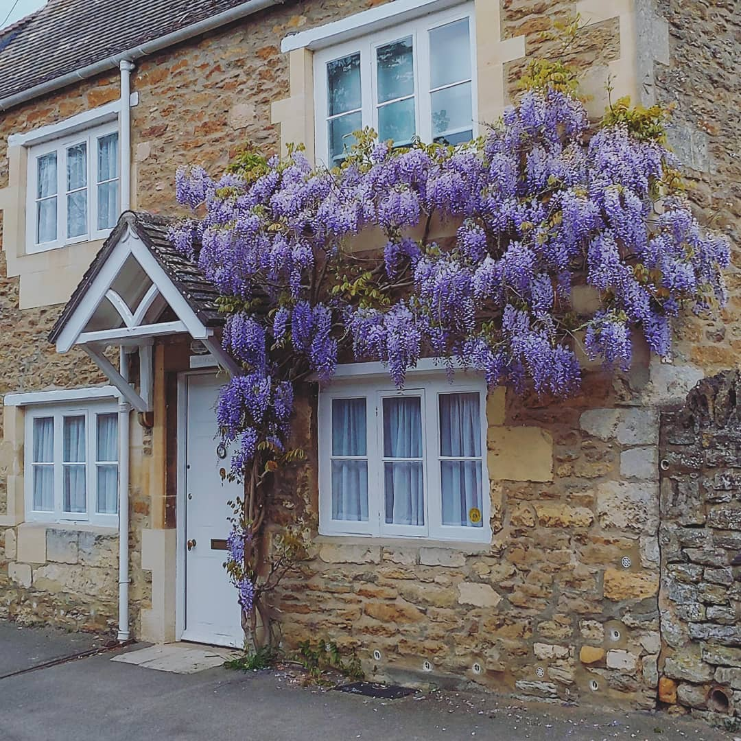 Thick purple wisteria around a cottage door in Iffley Village, Oxford.