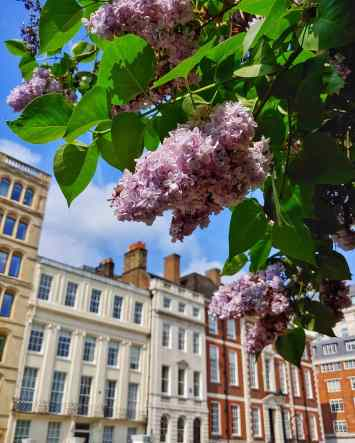 Light purple lilac flowers in front of a tall townhouse in London.