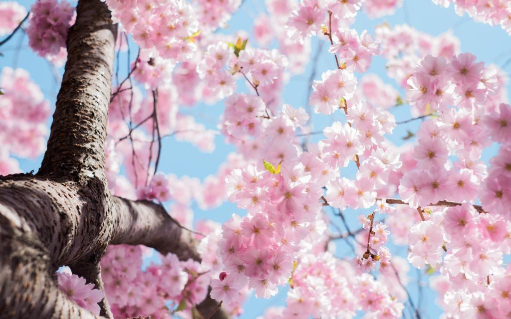 Pink cherry blossom against a bright blue sky.