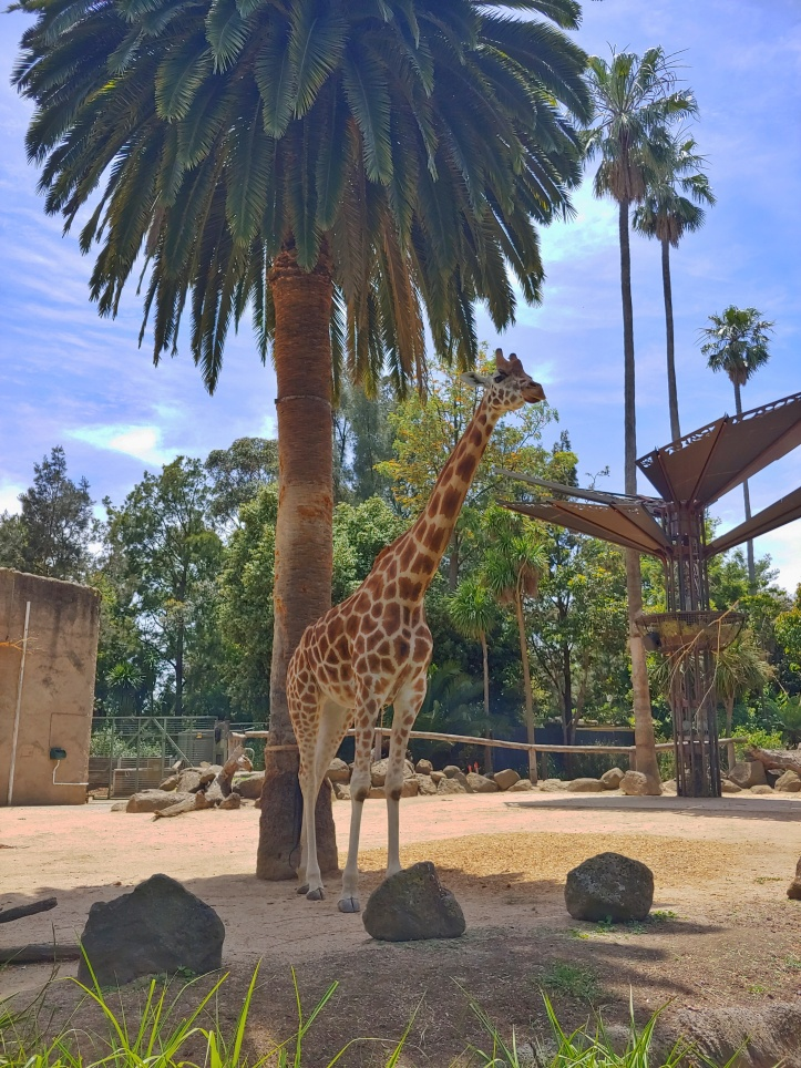 A giraffe with a palm tree in the background
